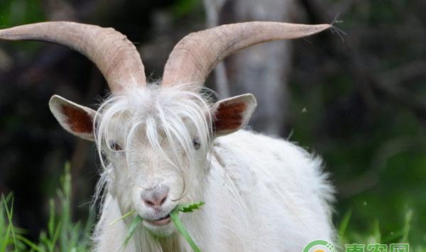 山羊养殖疫病防治技术