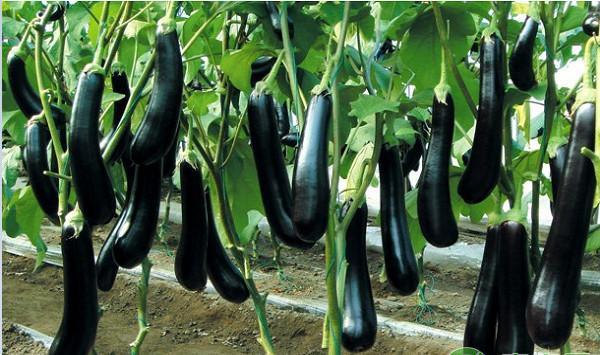 浅谈茄子露地栽培技术要点